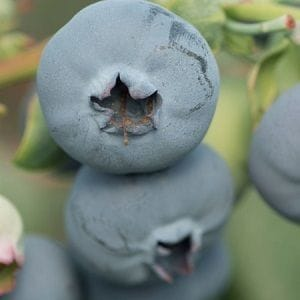 Rainfall is berry good news for Costa Group