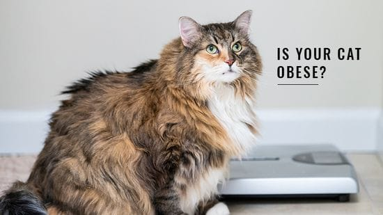 Cat Obesity: What You Need To Know