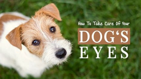 How To Take Care Of Your Dog's Eyes