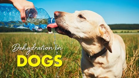 Signs Your Dog Is Dehydrated