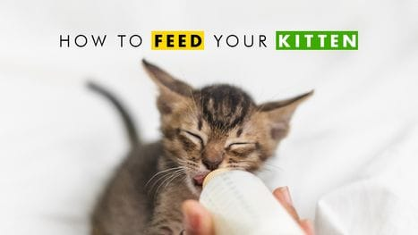 How to Feed Your New Kitten