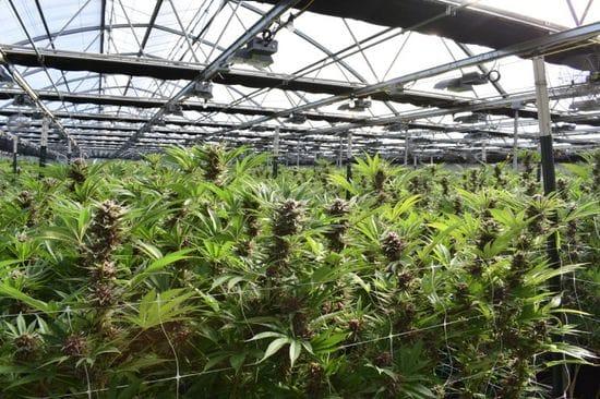 4 Cannabis Odor Control Strategies