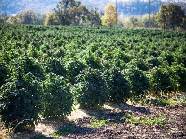 Outdoor Crops Odor Elimination
