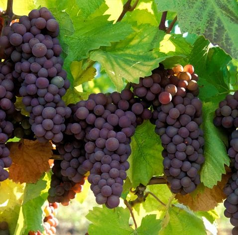 Wine Enzymes | Enzyme Solutions