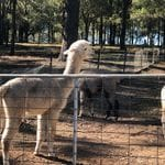 Tanglin Lodge Alpaca Farm - Public Day Tour.