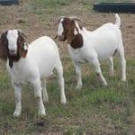 Boer Bucks
