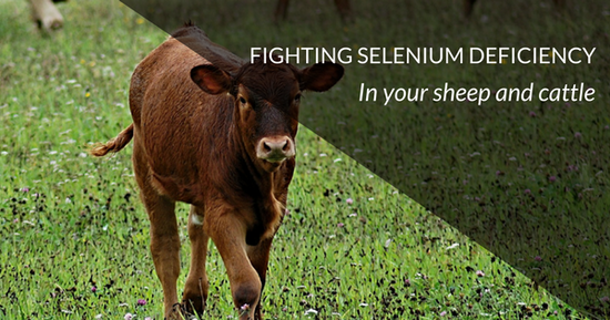 Selenium Deficiency in Sheep and Cattle