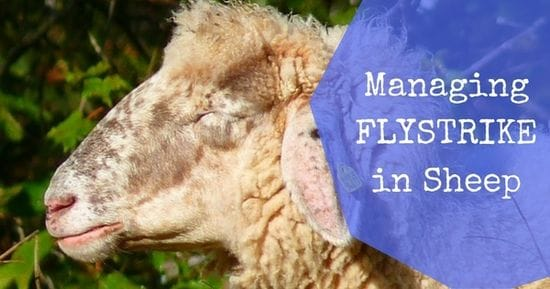 Controlling Blowfly Strike in Sheep this Spring