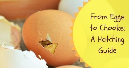 Getting from Eggs to Chooks: A Hatching Guide