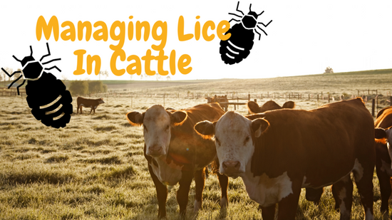 Managing Lice in Cattle