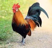 Poultry & Birds