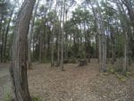Turpentine, Onley State Forest, South West of Newcastle
