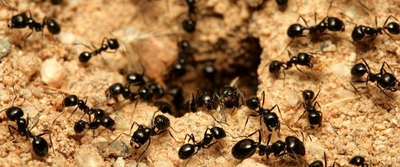 ants pest control gold coast