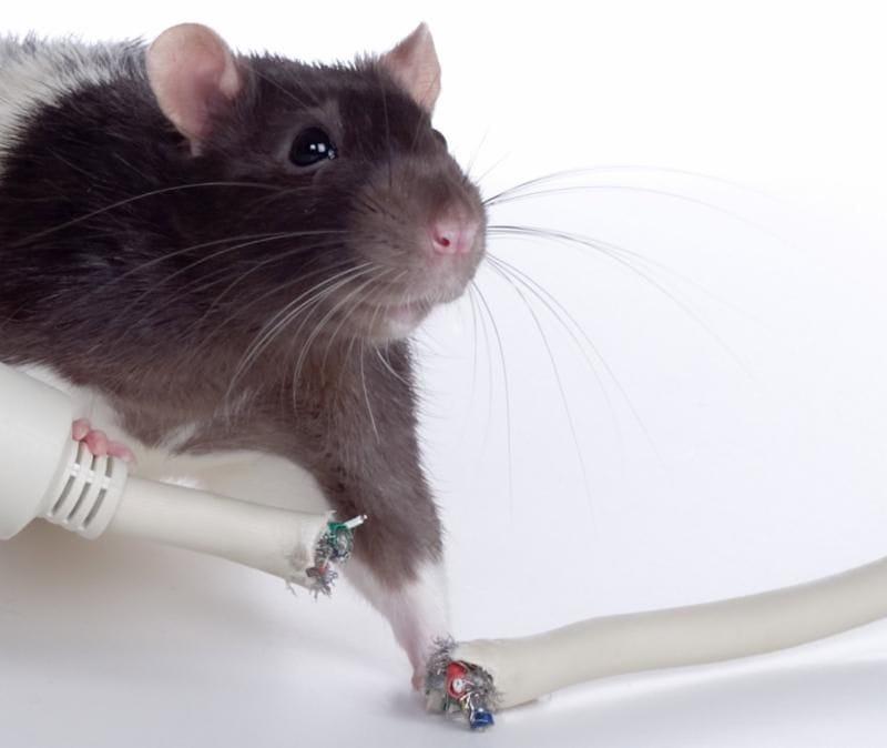 rodent treatment gold coast
