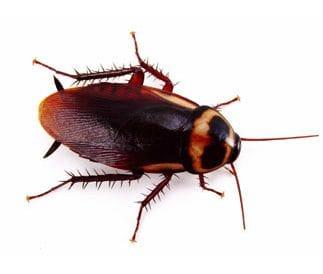 Pest Control Gold Coast Cockroaches