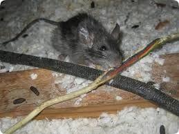 Rats Pest Control Gold Coast