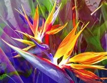 Bird of Paradise Purple - Jan Neil