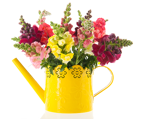 Colourful pink, lemon, cerise, deep red and white flowers. Little florets adorn the flower stems. Snapdragon make you smile with their pretty little blooms. Many of us can remember snapping the florets open and shut to make them talk.