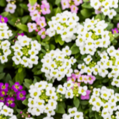 Lightly fragrant sweet alyssum is a pretty little flower that makes a wonderful filler for the garden, pot or windowbox