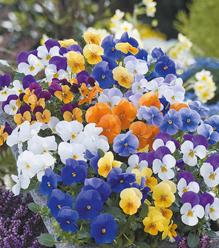 Little violas brighten up a Spring garden or patio pot with their pretty little faces
