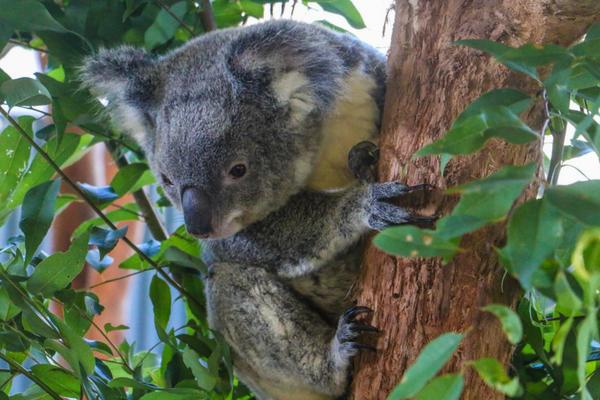 Koala Photo Credit Ryan Wheway