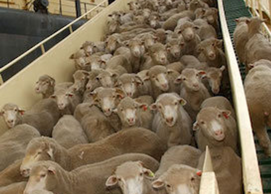 """Littleproud's call dubbed """"lily-livered"""" as live exports continue through hot Middle Eastern summer"""