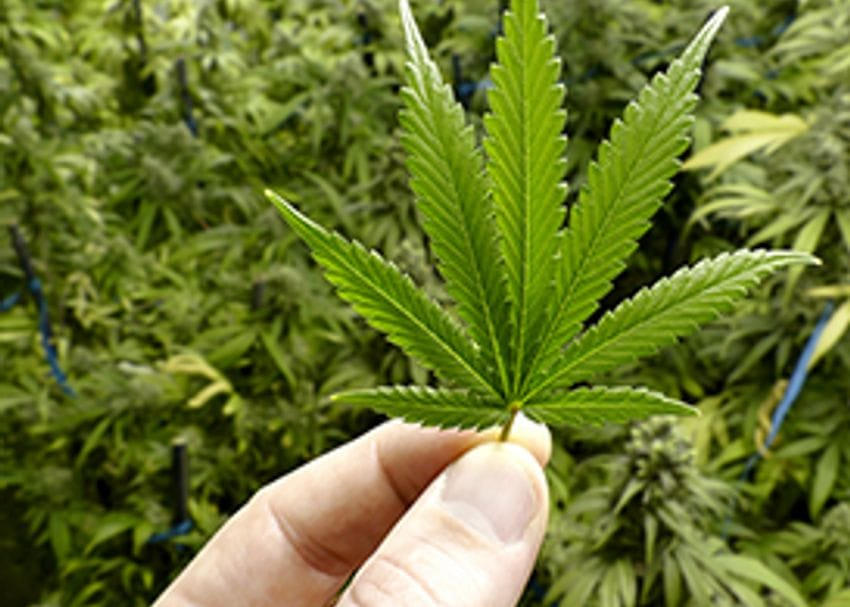 AusCann raises $33.4 million to fund cannabis R&D
