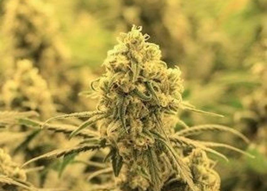 CropLogic secures growing licence for major US hemp state