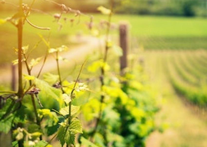 Bumper harvest for Australian Vintage leaves a profitable aftertaste