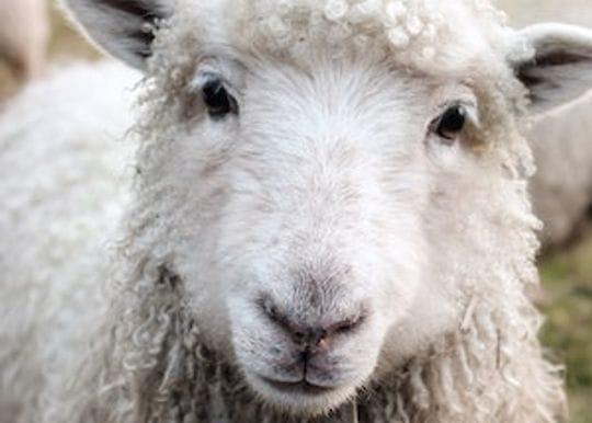 Live export ban exemption refused for livestock vessel Al Kuwait