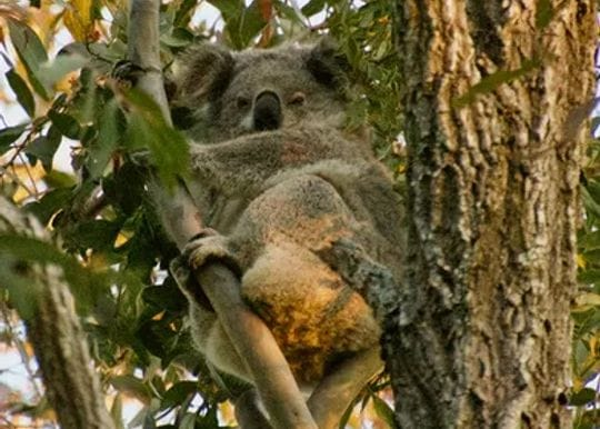 Will Environment Minister Sussan Ley let a mine destroy koala breeding grounds?