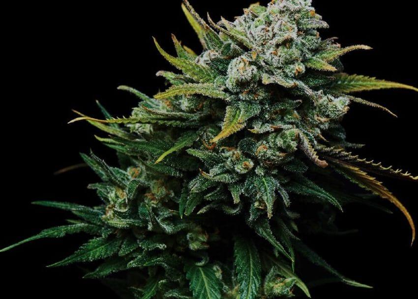 ANTG exports first Aussie grown medicinal cannabis to EU