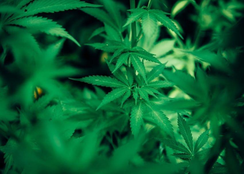 ECS Botanics plans major expansion of Tasmanian cannabis farm