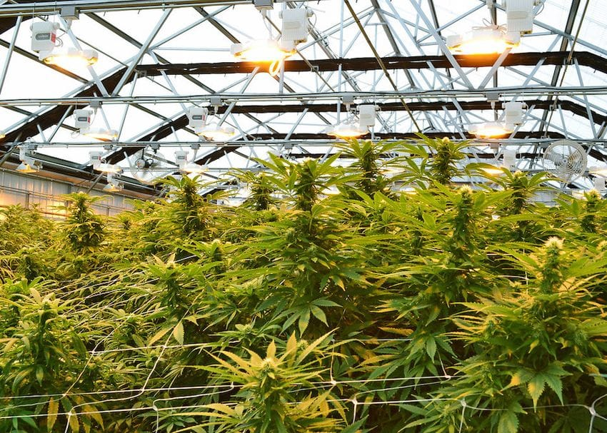 ANTG will merge with Canadian cannabis multinational to build 75ha greenhouse