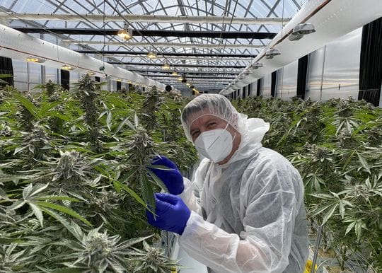 ANTG enters partnership with hopes to export first medicinal cannabis flower to NZ