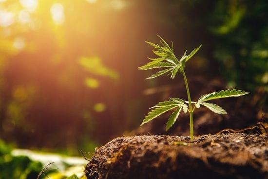 Bod's healthy revenues make it one happy cannabis company