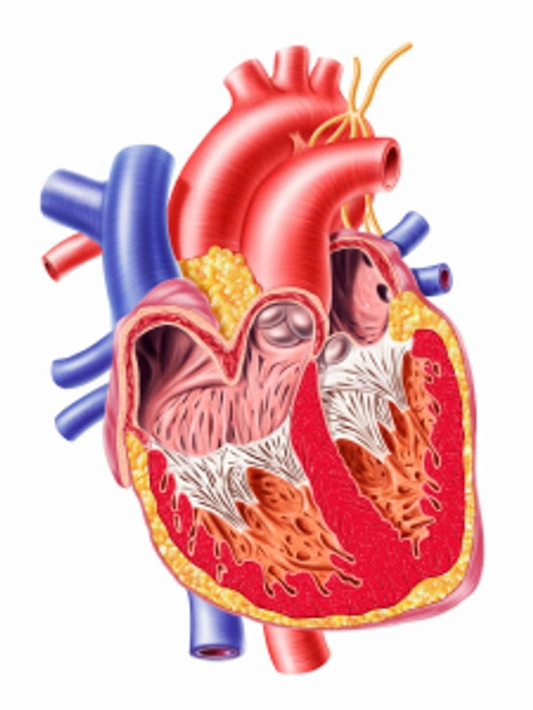 The action of a single heart beat