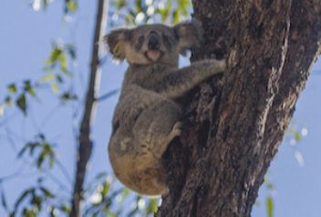 Maryanne the Koala after being released into the wild © WWF-Australia