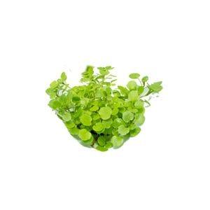 Micro - Watercress