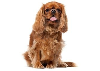 Small dogs are welcome at our dog kennels in Banjup. Close to Harrisdale, Amradale and Yangebup for your convenience.