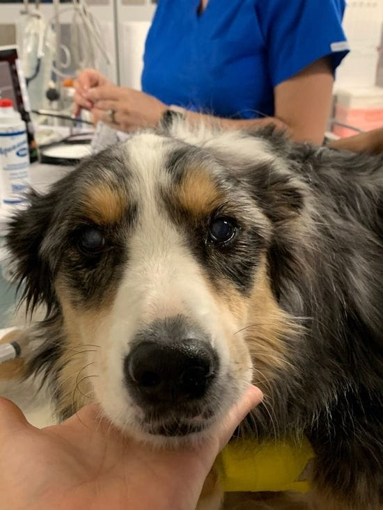 Storm the Border Collie's Cataract Surgery