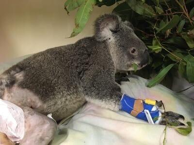 Jock the koala