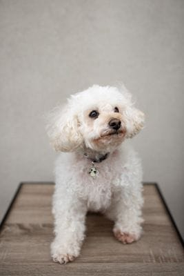 Gigi, therapy poodle for patients with cancer in Melbourne