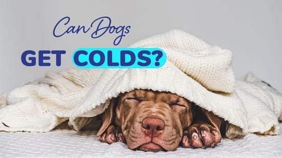 Can Dogs Get Colds?