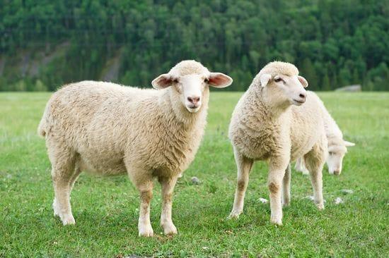 Why Organic Wool