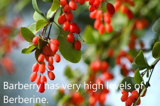 Berberine Enhances Chemo-sensitivity and Induces Apoptosis