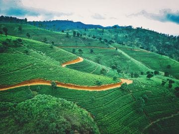 Botanical Considerations in Reducing Cancer Risk: Green Tea