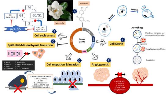 The power of plant lignans : magnolia