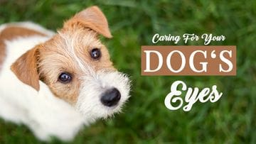 Caring For Your Dog's Eyes