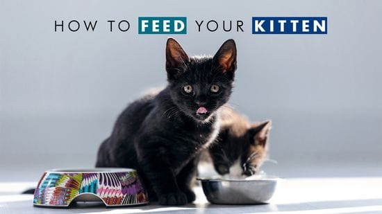 How to Feed Your Kitten